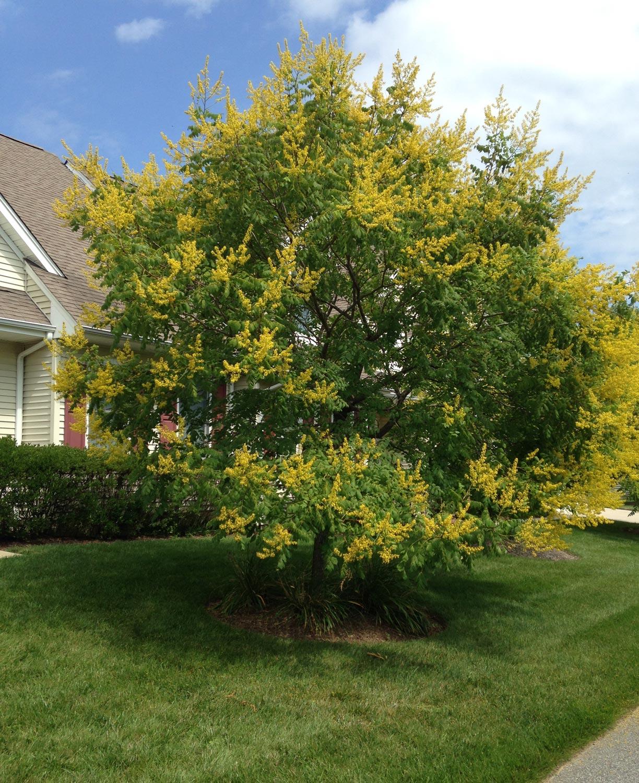 August 31 to September 6 Golden Rain Tree Barton Arboretum Blog