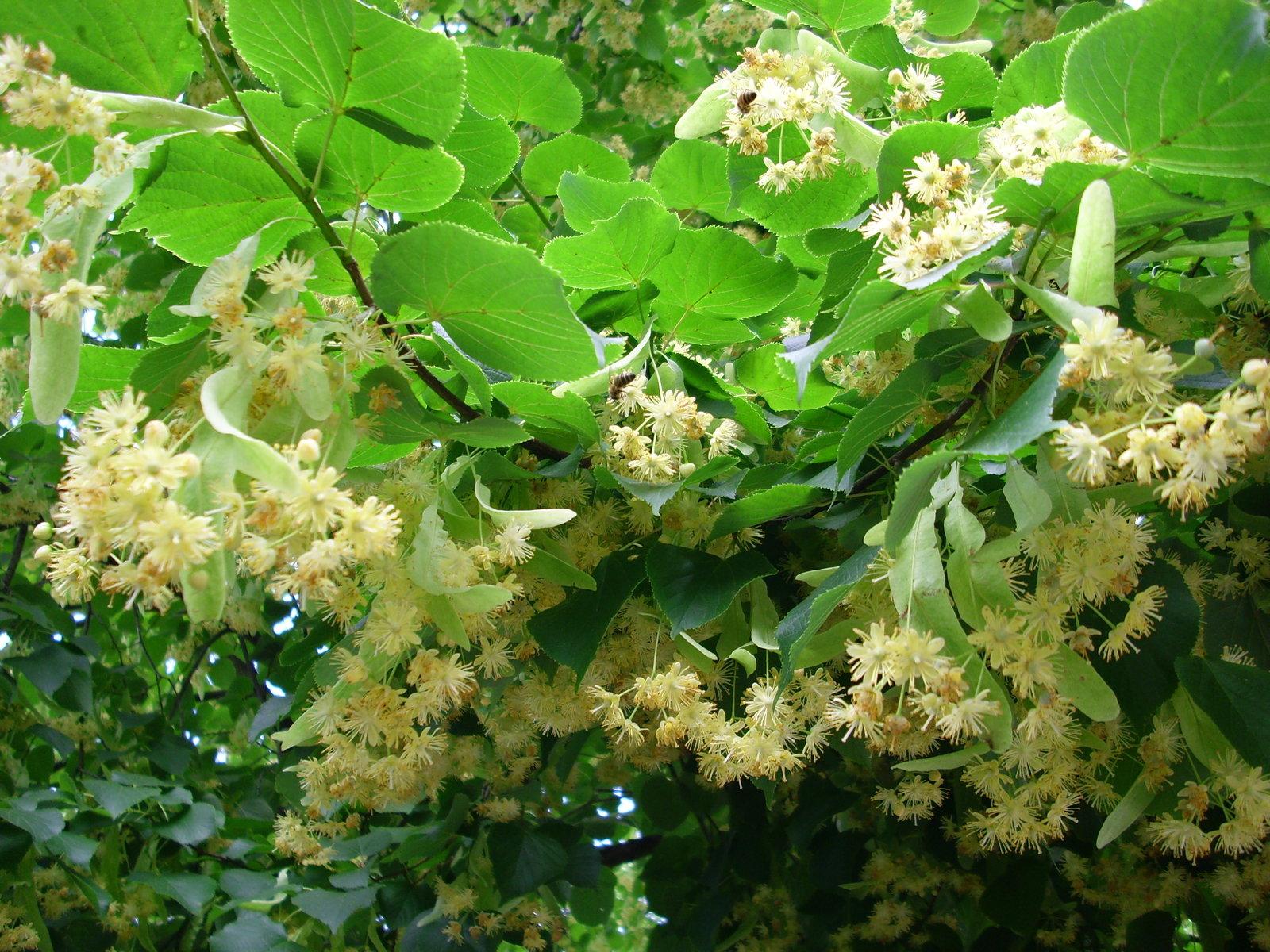 June 23 to June 29 – Linden Trees – Barton Arboretum Blog