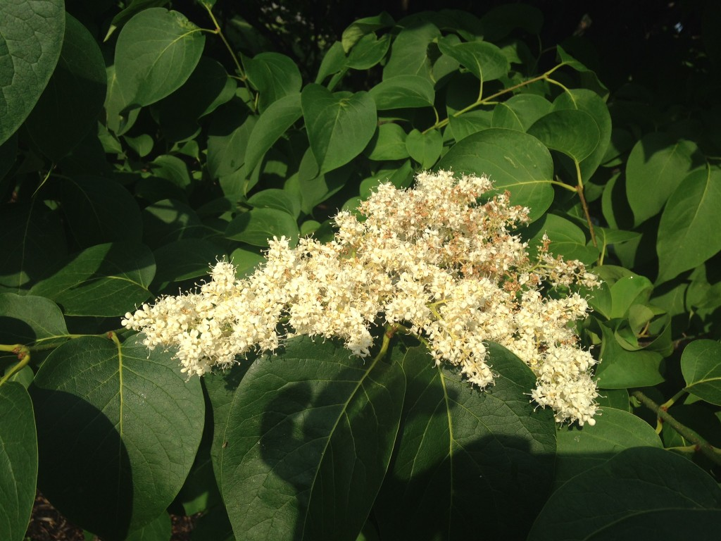 June 14 To 20 Japanese Tree Lilac Syringa Reticulata Barton