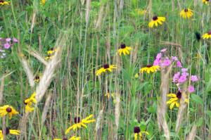 Black-eyed Susan,  Rudbeckia hirta and Meadow Phlox, Phlox maculata
