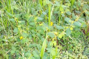 Partridge Pea, Cassia fasciculata