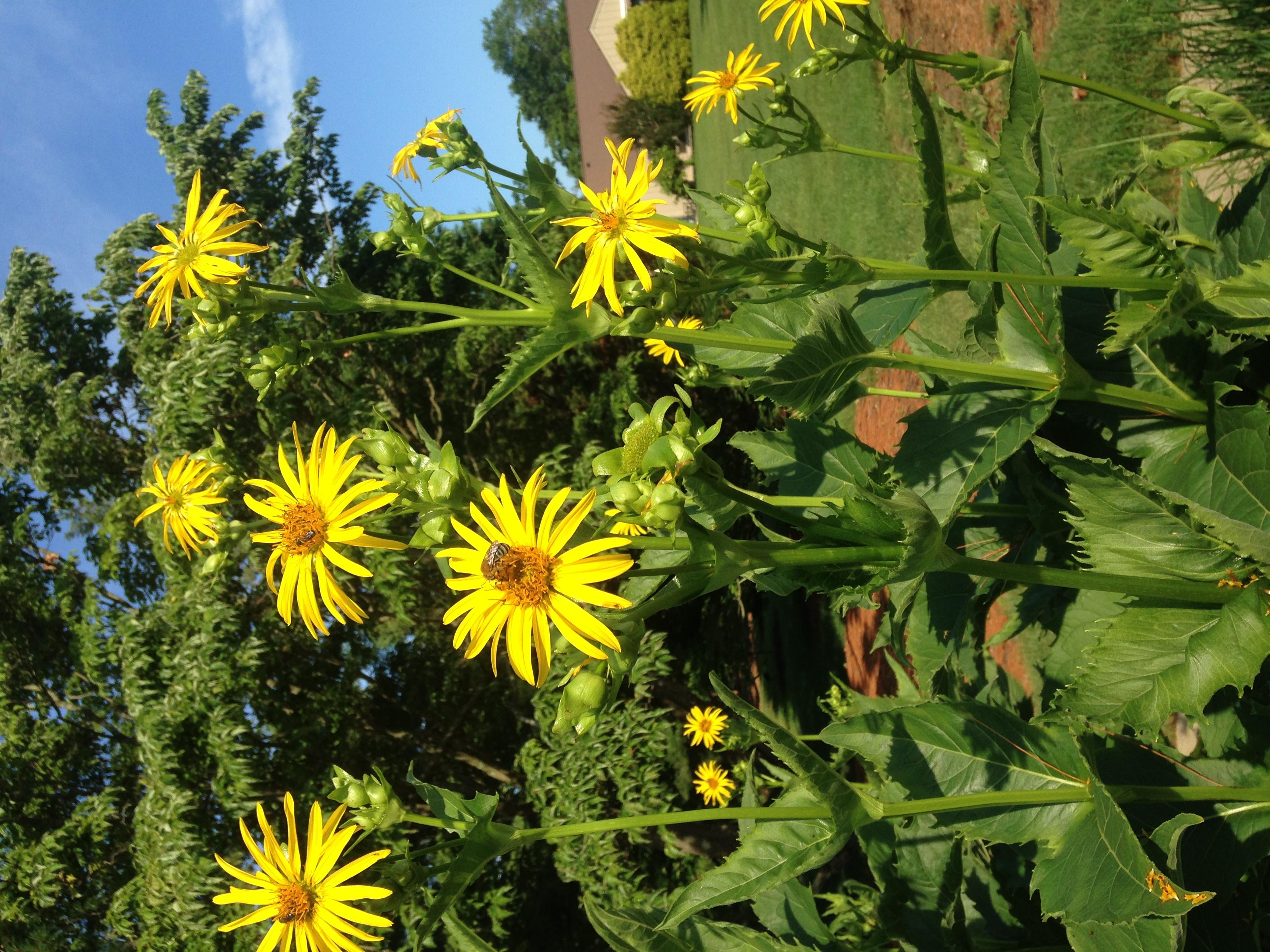 Csésze növény (Silphium perfoliatum) profil